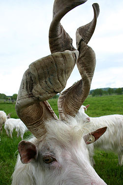 A goat with spiral horns