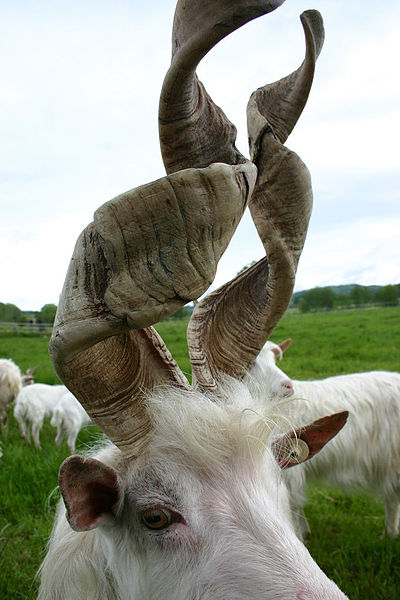 400px-Goat_with_spiral_horns.jpg