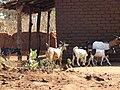 Goats - panoramio (6).jpg