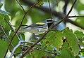 Golden-winged Warbler (37454053405).jpg