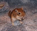 Golden Agouti Male 4-1-05.jpg