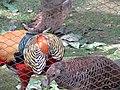 Golden Pheasant courtship ritual (7856759464).jpg