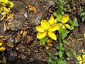 Golden rain tree flower.jpg
