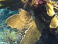 Gorgonia flabellum, Bahamas.jpg