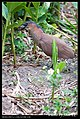 Gorsachius melanolophus (5623710917).jpg
