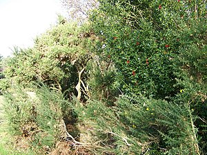 Gorse and holly at Pipers Wait - geograph.org....
