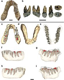 Holotype jaw and premolar