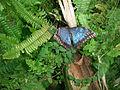 Granada-Parque de las Ciencias-Mariposario-Morfo común (Morpho peleides, Insectos Lepidópteros Ninfálidos).JPG
