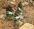Graphium antiphates - Five-bar Swordtail 09.jpg