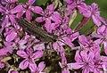 Grasshopper - Çekirge 07.jpg