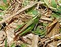 Grasshopper 2007-2.jpg