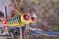 Grasshopper Eflani1.jpg