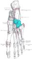Gray269 - Cuboid bone.png
