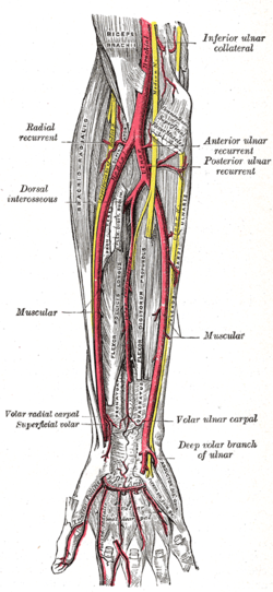 Ulnar nerve to ulnar artery and radial nerve to radial artery ...
