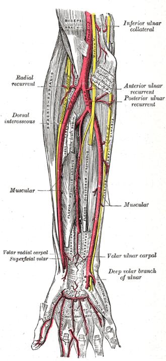 Palmar metacarpal arteries - Ulnar and radial arteries. Deep view (Volar metacarpal visible at bottom center).
