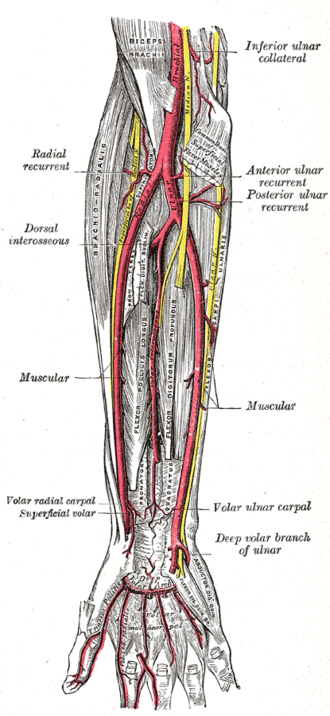 Cubital fossa - Image: Gray 528