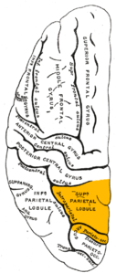 Gray725 superior parietal lobule.png