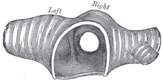 Carina of trachea - Transverse section of the trachea, just above its bifurcation, with a bird's-eye view of the interior. (Carina not labeled; the ridge that separates the left and right bronchus.)