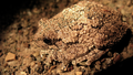 Gray Tree Frog (5660223718).png