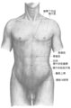 Gray abdomen front surface zh.png
