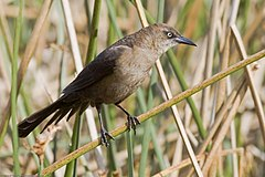 Great-tailed Grackle - female.jpg