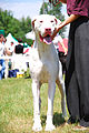 Great Dane K01.jpg
