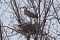 Great blue heron in nest (6904373402).jpg