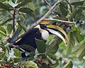 Great hornbill eating fig.jpg