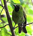Greater Green Leafbird (Chloropsis sonnerati) of South Jakarta, Indonesia.jpg