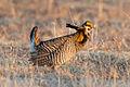 Greater Prairie Chicken (Tympanuchus cupido) (20163587720).jpg