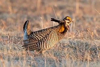 Tympanuchus - Image: Greater Prairie Chicken (Tympanuchus cupido) (20163587720)