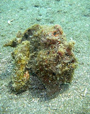 Frogfish - A frogfish disguised as an algae-covered stone