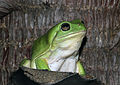 Green Tree Frog (Litoria caerulea) (8691380381).jpg