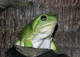 Green Tree Frog (Litoria caerulea) (8691380381)