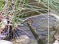 Grenouille (Anura) (3).jpg