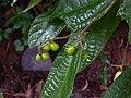 Grewia laevigata (1390825881).jpg