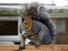 Grey Squirrel (Sciurus carolinensis).jpg