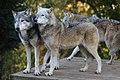 Grey wolves (11065846834).jpg