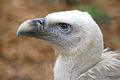 Griffon Vulture by Keven Law.jpg