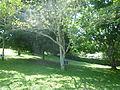 Guayacan Trumpet Tree (Tabebuia Guayacan-Bignoniaceae).JPG