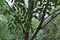 Gymnocladus dioica au Plateau des poètes001.JPG