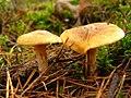 Gymnopilus penetrans junges paar.jpg