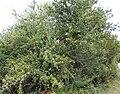 Gymnosporia heterophylla - African Spikethorn tree 6.jpg
