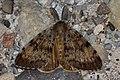 Gypsy Moth (Lymantria dispar) - Guelph, Ontario 2016-08-01 (03).jpg
