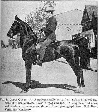American Saddlebred - American Saddlebred mare, circa 1906