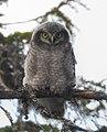 Hökuggla Northern Hawk Owl (19727906994).jpg