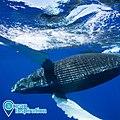 HIHWNMS Humpback whale (49040809416).jpg