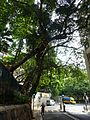 HK 般咸道 Bonham Road banyan trees July 2016 nearby HKU 002.jpg