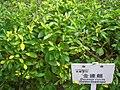 HK Sunday Wan Chai Park Verbenaceae Duranta erecta Golden Dewdrops.JPG
