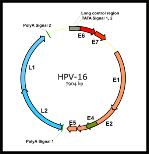 Genomic structure of Human papillomavirus HPV